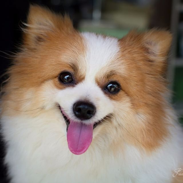 Lovely Furry White And Brown Color Pomeranian Dog Pommy Love