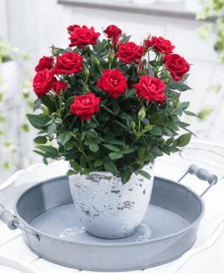 Foto Bunga Mawar Dalam Pot 7 Cara Merawat Bunga Mawar Terlengkap Rumah Sleman Bunga Mawar Dalam Pot Childhood Gardens Flower Pots Plants Indoor Roses Plant