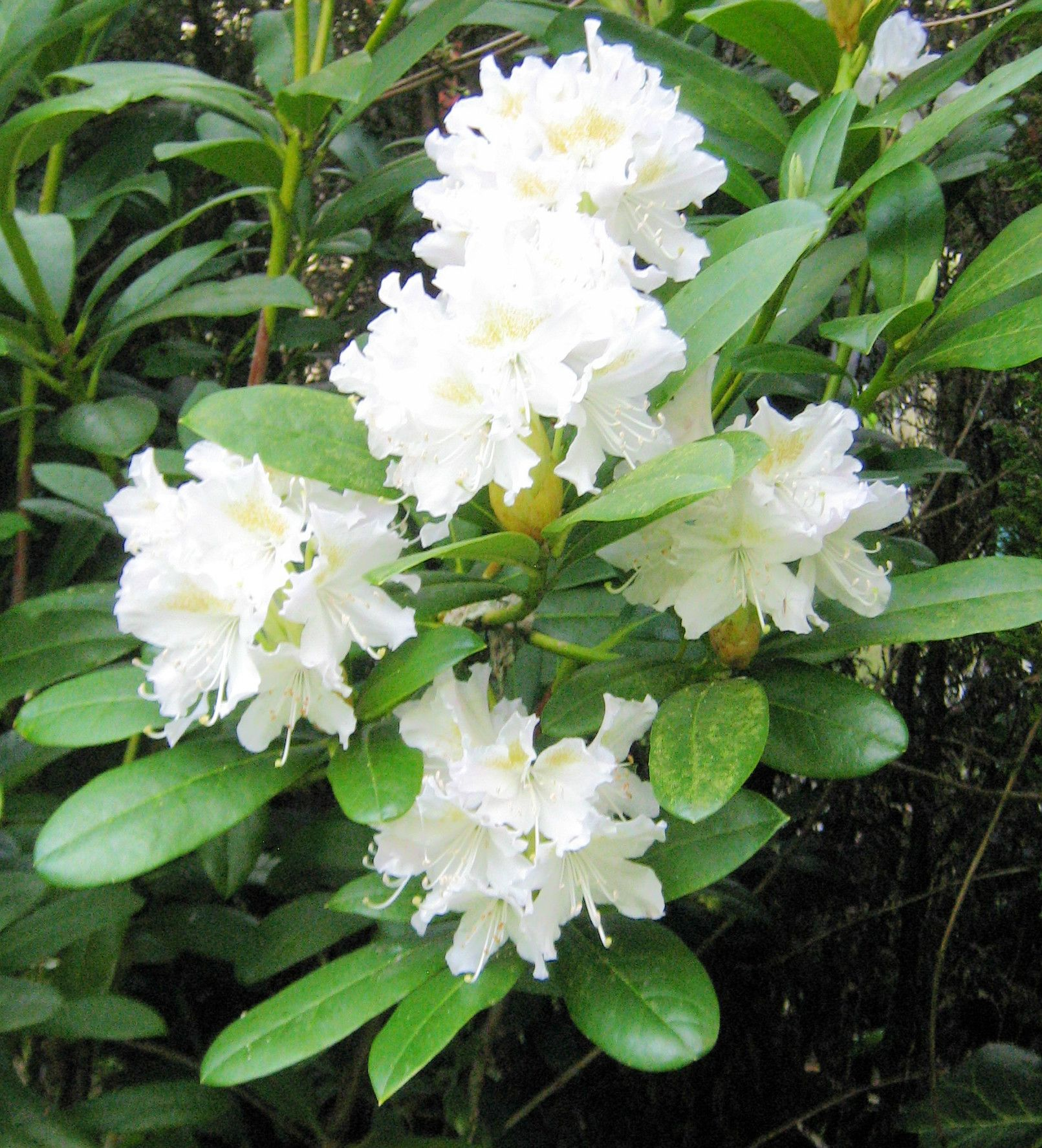 Close Up Of The Rhododendron Cunninghams White 12th May 2016