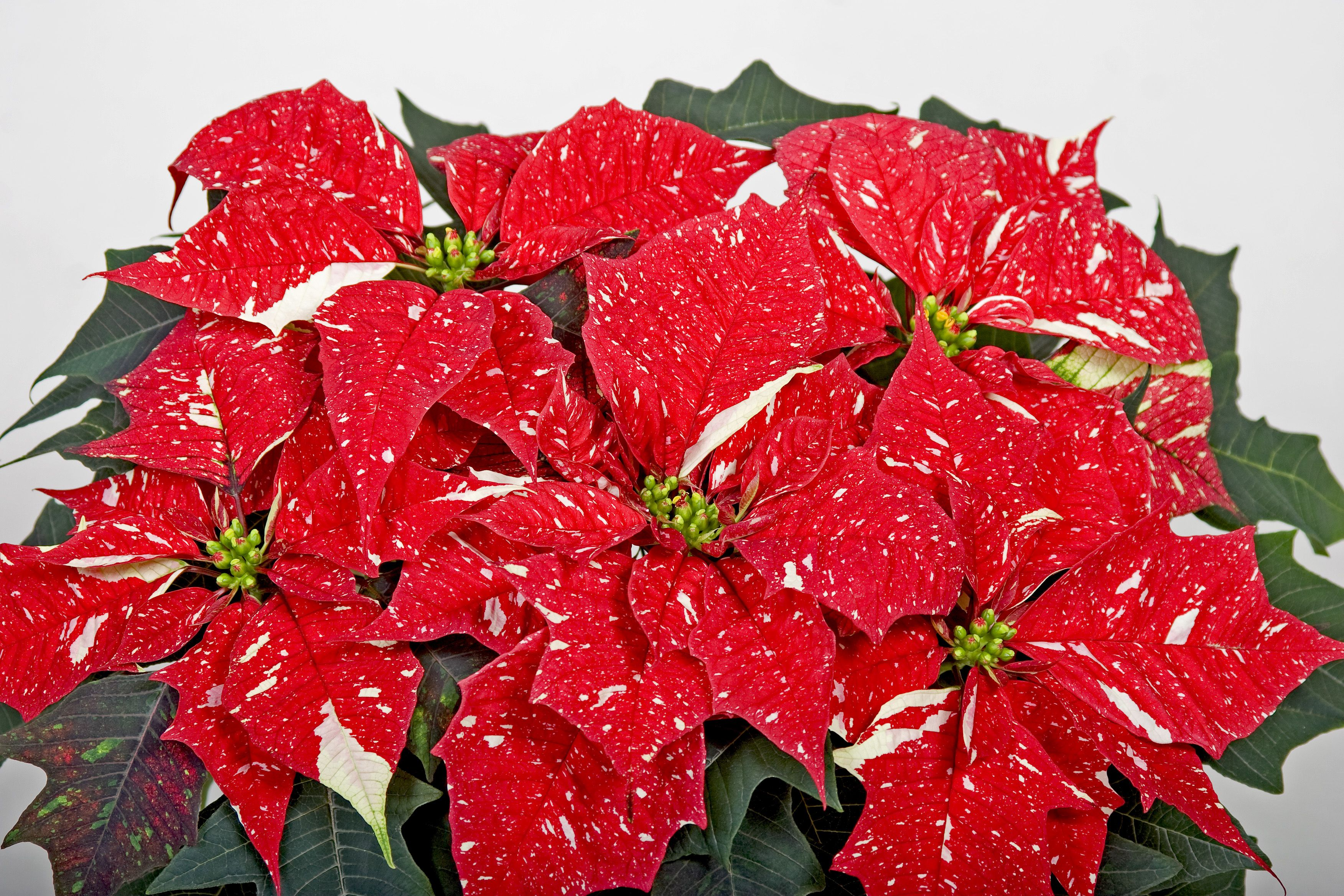Pin On Poinsettia S