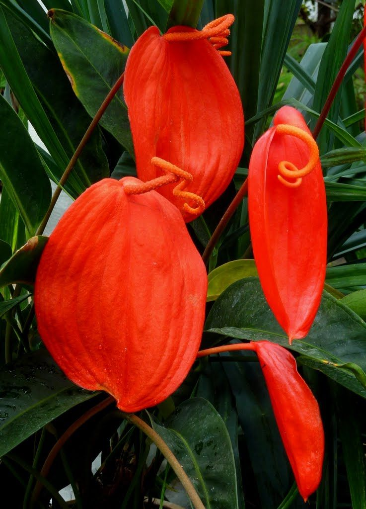 36676335 Jpg 737 1024 Unusual Flowers Amazing Flowers Anthurium