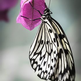 Butterfly - animals butterfly animal white black pink