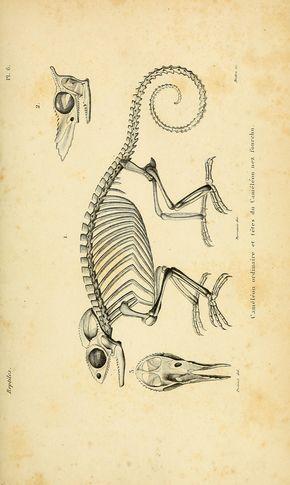 chameleon skeleton | Fall in 2019 | Skeleton drawings