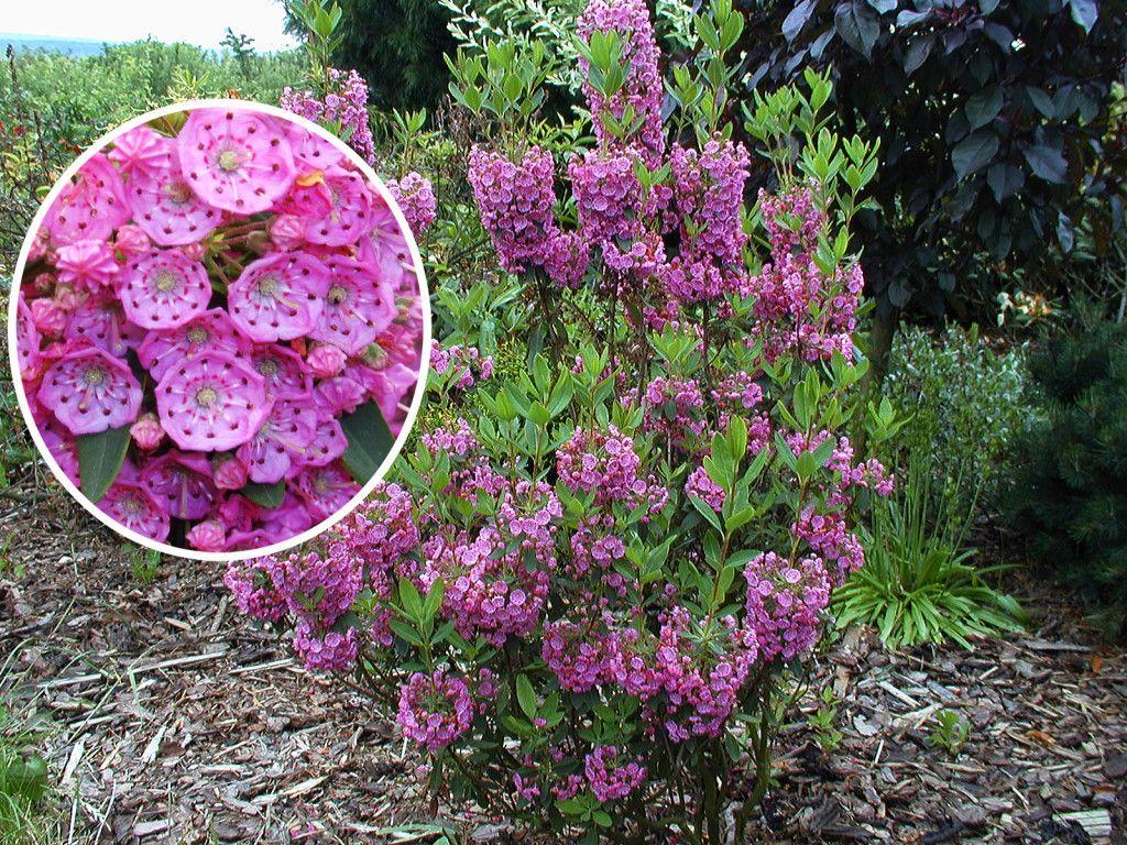 Kalmia angustifolia Rubra Rotes Lorbeerröslein Lorbeerrose