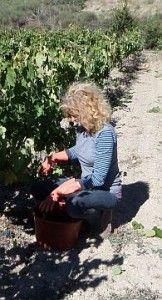 De hond is te dik en de druifjes staan op knappen…  Het wel en wee in de Franse wijngaard van Karen Haanstra….  http://www.wijngekken.nl/?p=39375