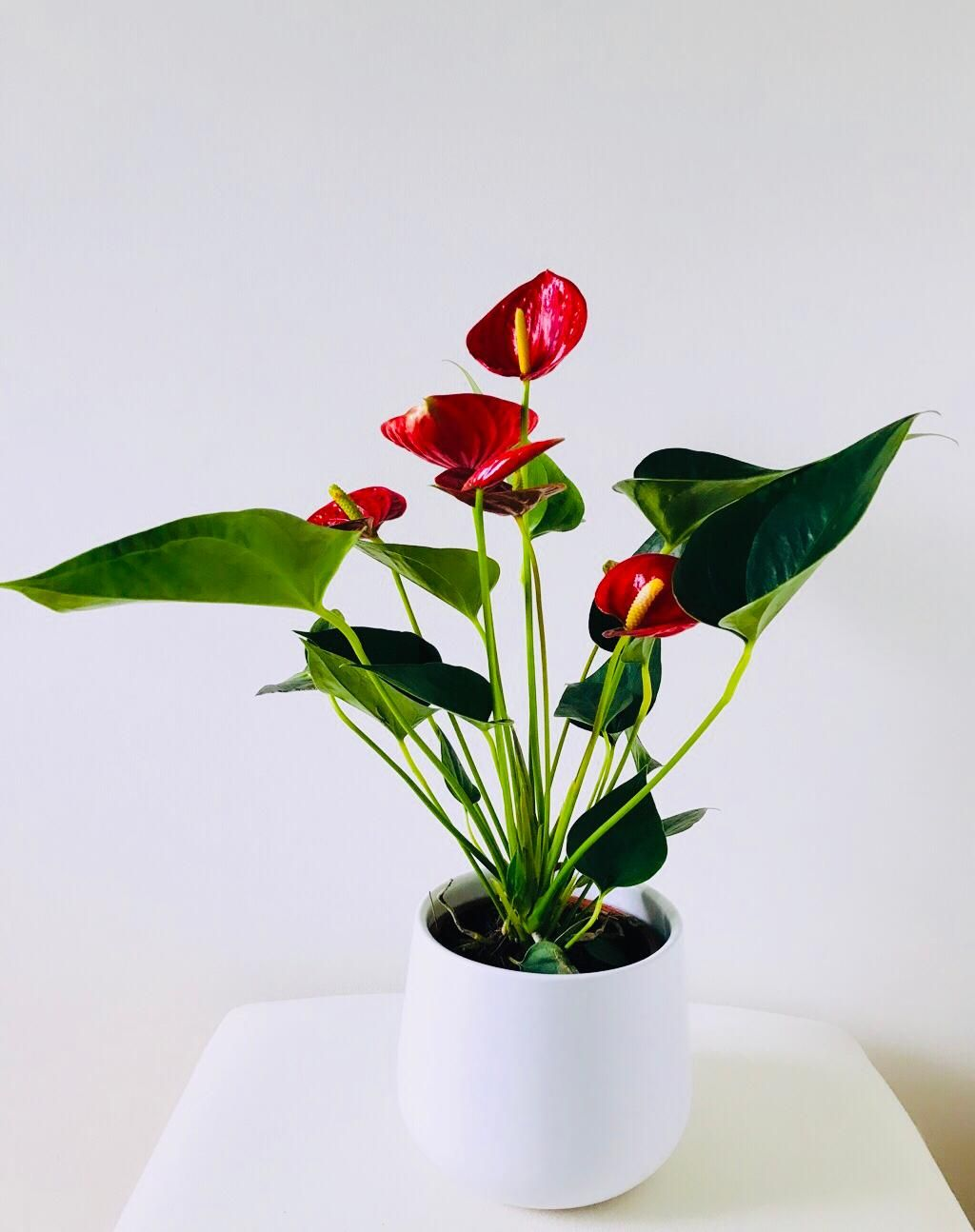 Anthurium Anthurium Anthurium Plant Plants That Repel Bugs