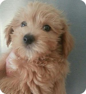 Brown Maltese Terrier Cute Small Dogs Dog Sounds Yorkie Poo