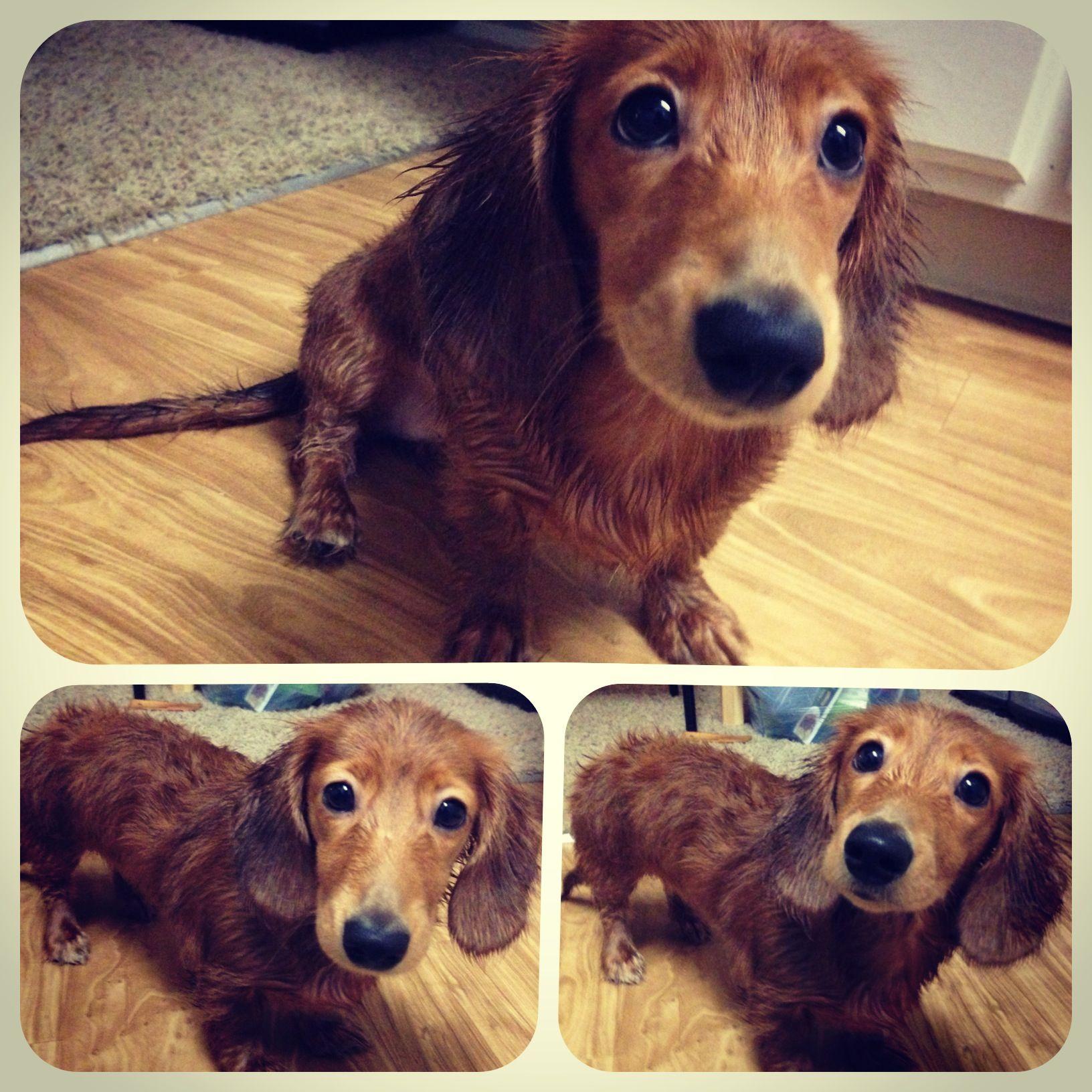 My cream dapple dachshund Penelope! The sweetest puppy in