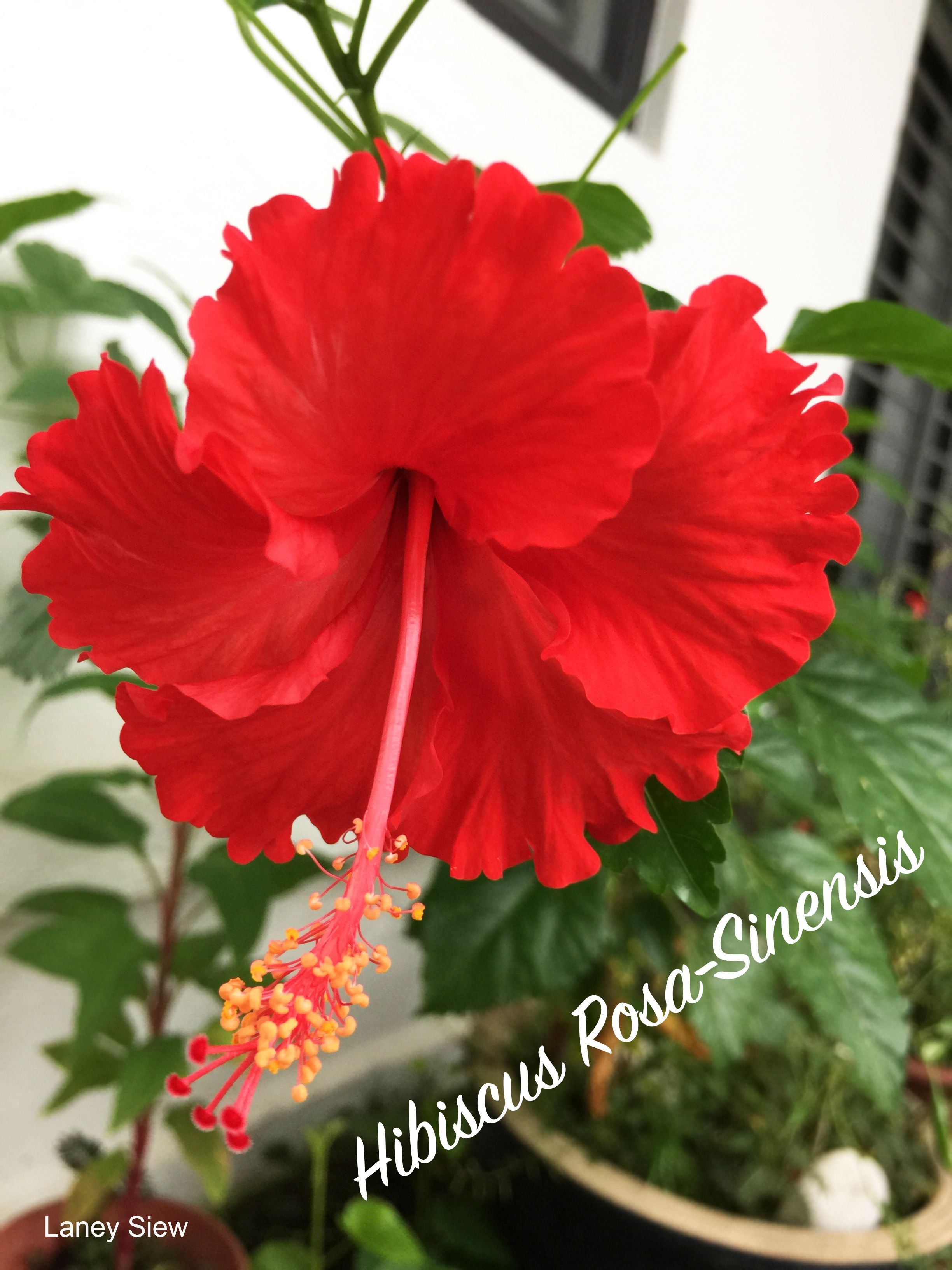Hibiscus Rosa Sinensis Blooming National Flower In My Garden By
