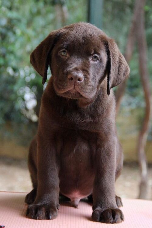 I Chocolate Labs With Images Puppies Lab Puppies