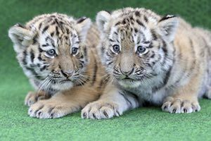 Leipzig, Germany Six-week-old tiger cubs wait to be vaccinated at the zoo