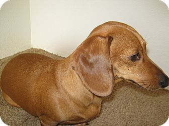 Portland Or Dachshund Meet Jasmine A Dog For Adoption My Name