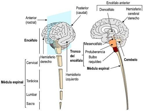 La médula espinal continúa cranealmente con el tronco del encéfalo ...