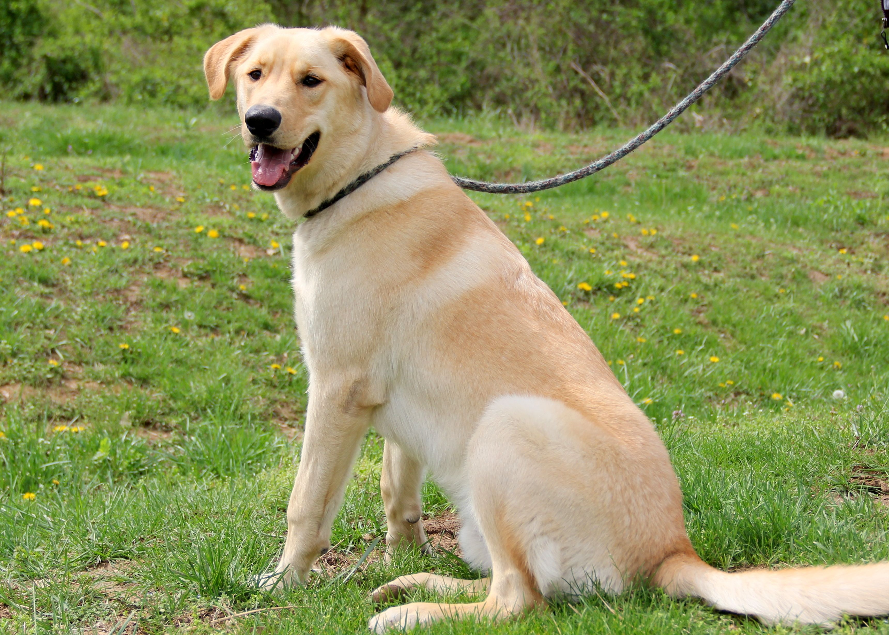 Labrador Retriever dog for Adoption in Mount Carmel, IL