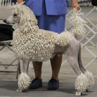 Enchantment S Coco Chanel Poodle Miniature Poodle Poodle