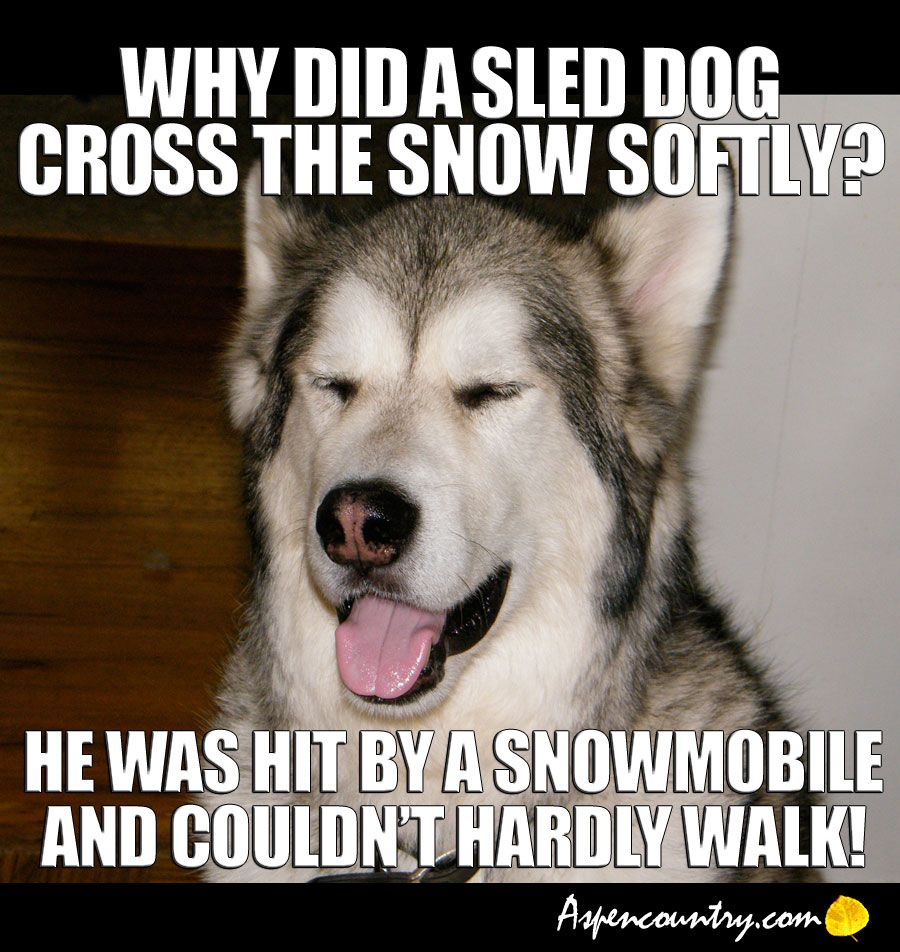 Easygoing Dog Riddle: Q Why did a sled dog cross the snow softly? A. He was hit by a snowmobile and couldn't hardly walk!