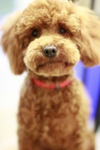 brown curly haired dog