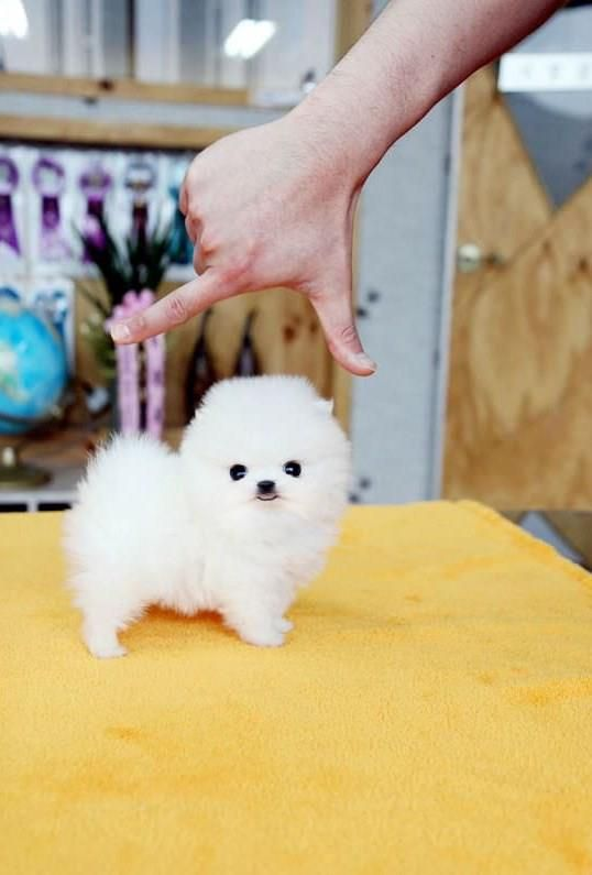 Very+Tiny | This is one very small dog - Jokeroo | Cute | Cute baby
