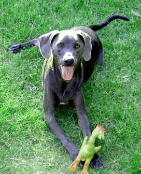 Blue Lacy Gorgeous Dogs Blue Lacy Dog Blue Lacy Puppies