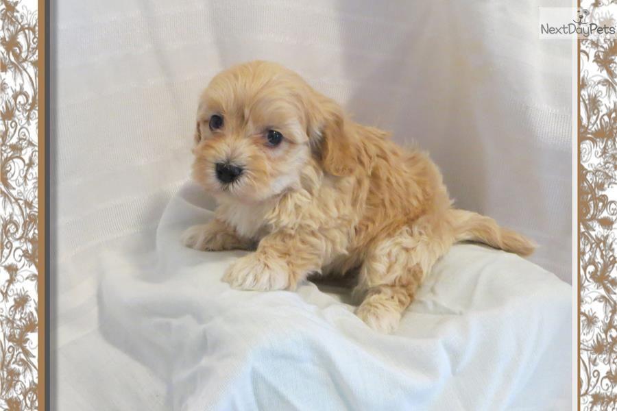 Malti Poo Maltipoo Puppy For Sale Near Little Rock Arkansas
