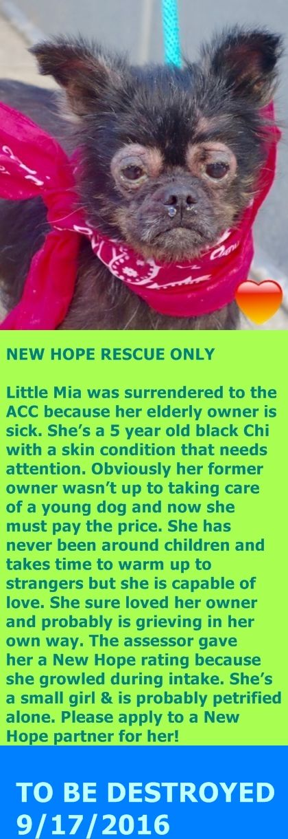 SAFE 9-17-2016 by Unwanted NYC Pets --- Manhattan center MIA – A1089791  FEMALE, BLACK, CHIHUAHUA LH MIX, 5 yrs OWNER SUR – STRAY WAIT, NO HOLD Reason OWNER SICK Intake condition ILLNESS Intake Date 09/14/2016,  http://nycdogs.urgentpodr.org/mia-a1089791/