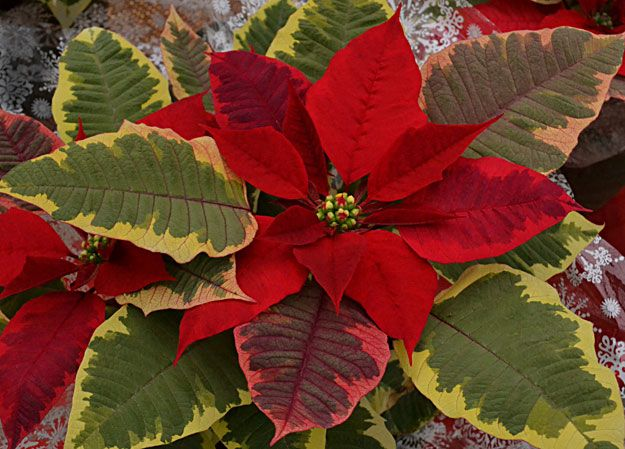 Poinsettia Tapestry Amazing Flowers Poinsettia Holiday Painting