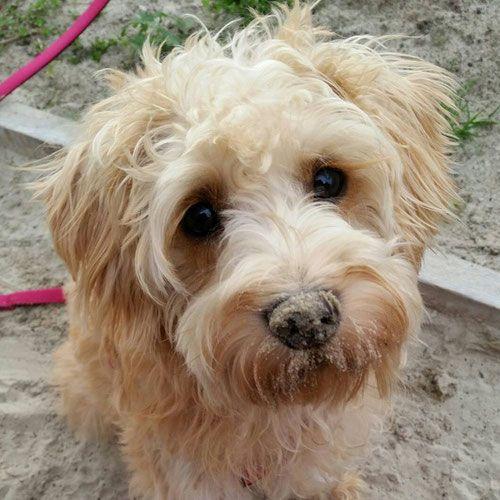 Schnoodle Hybridhund Doodle Haustiere Fur Kinder Hund Anschaffen Susse Hundebilder