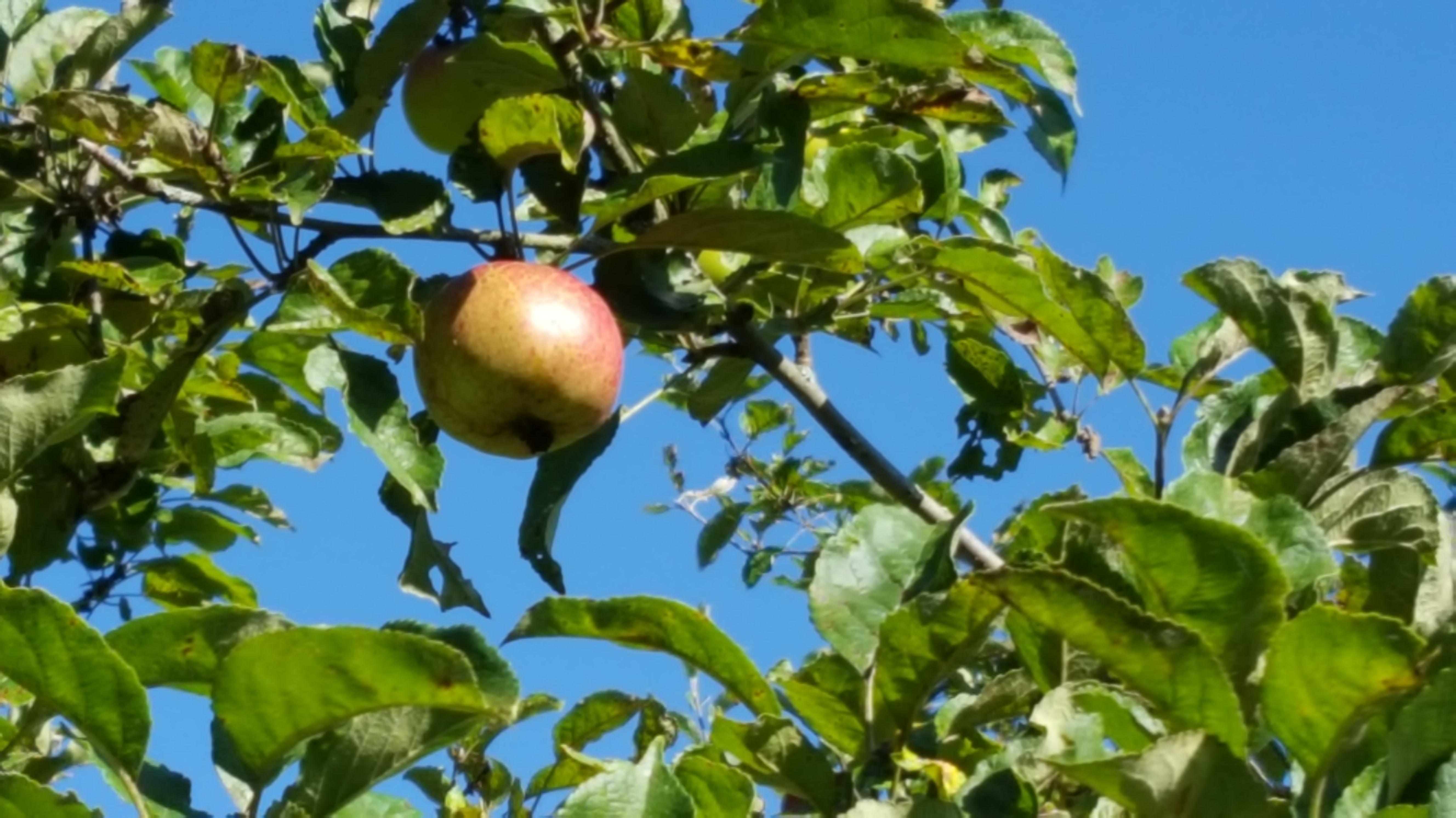 August 2016 - die Äpfel reifen...