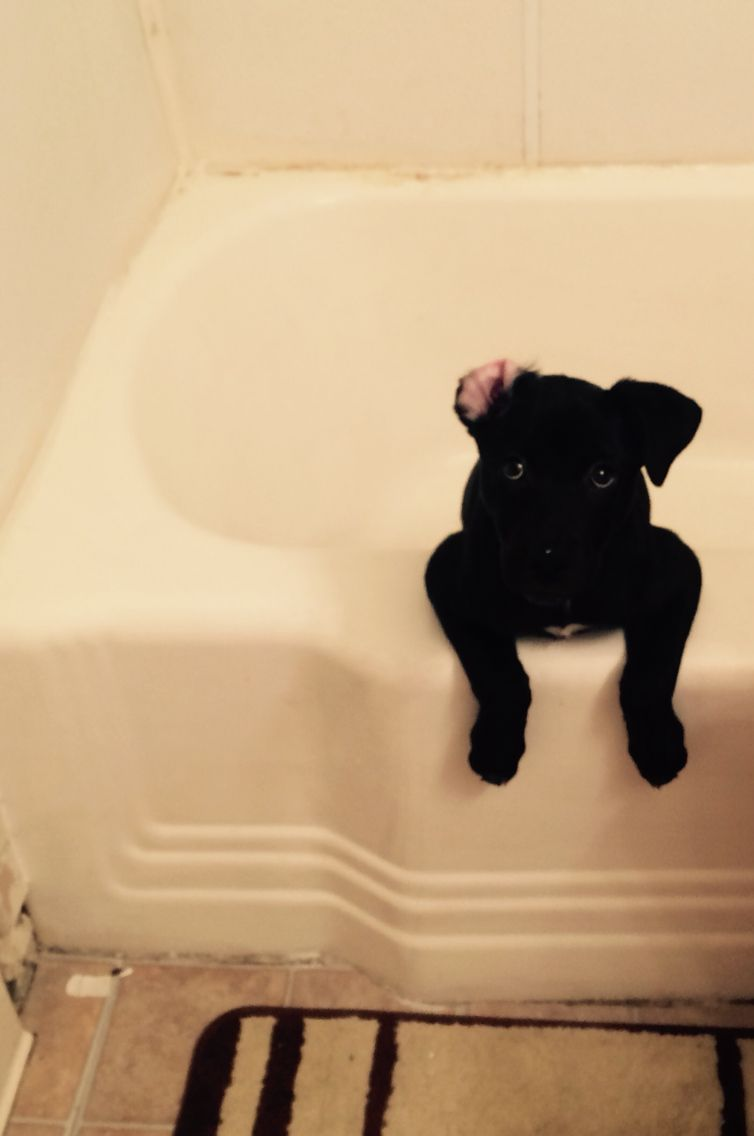 Storm The Labrabull Pitador Puppy Decided She Wanted To Take A