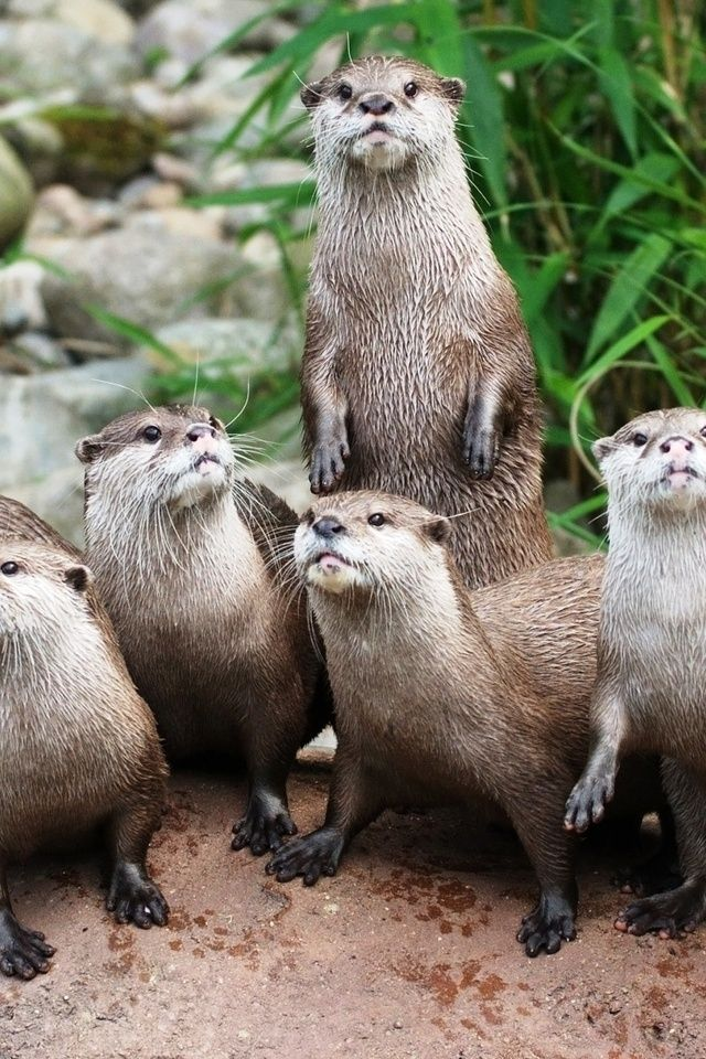 Otters Iphone Wallpaper Loutre Et Animaux