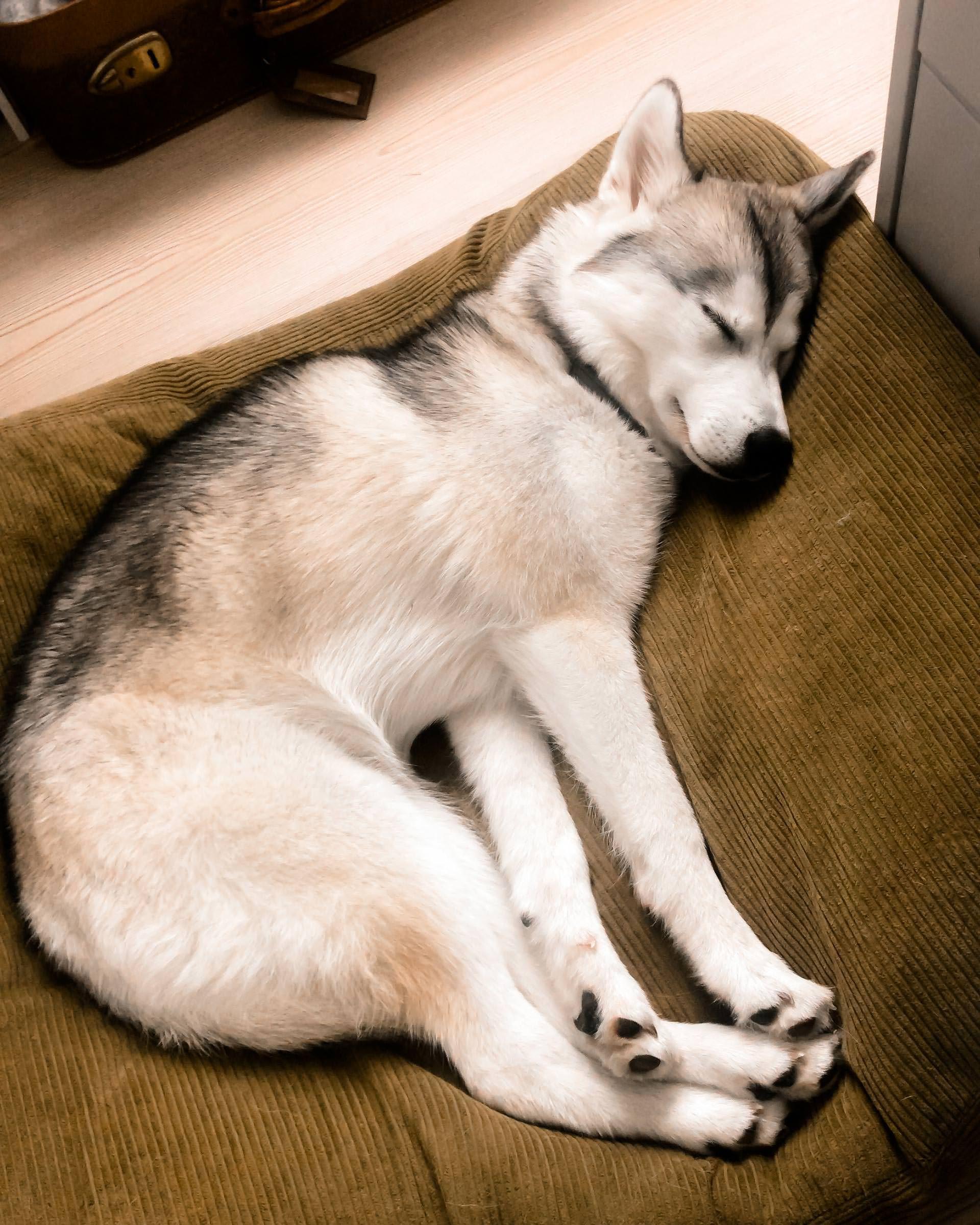 Unser Alltag Mit Hund 4 Uber Bgh1 Prufungen Und Laufige Hundinnen The Pawsome Tyroleans Sibirischer Husky Hunde Wolf Hunde