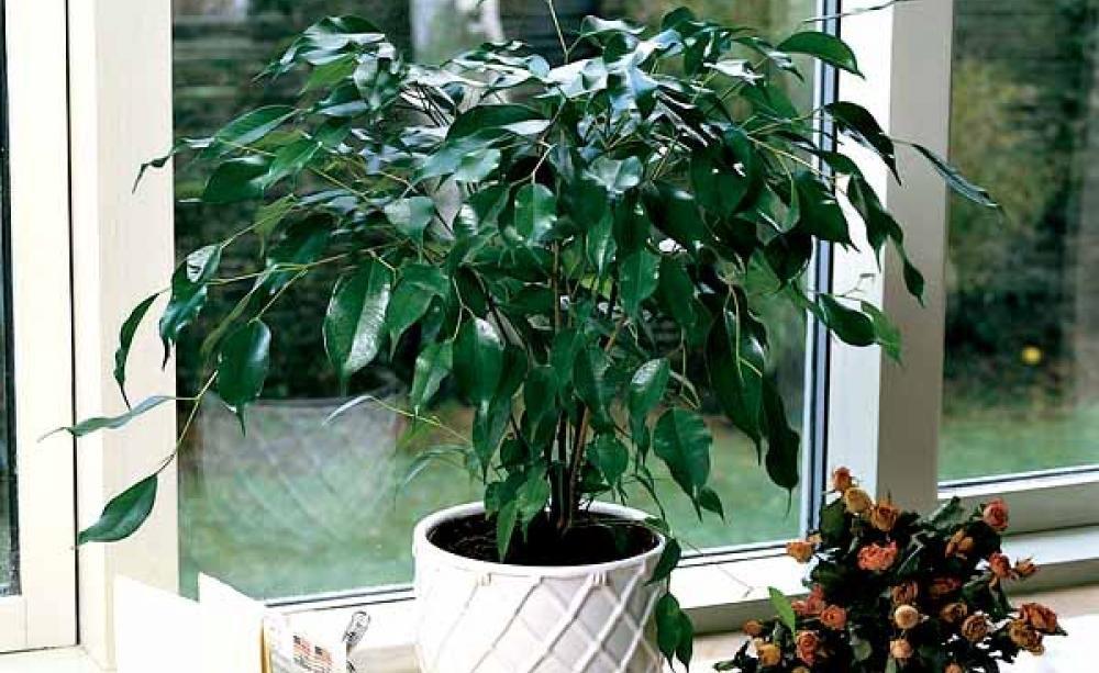 was tun wenn der ficus die bl tter verliert indoor pflanz und pflegetipps f r zimmerpflanzen. Black Bedroom Furniture Sets. Home Design Ideas