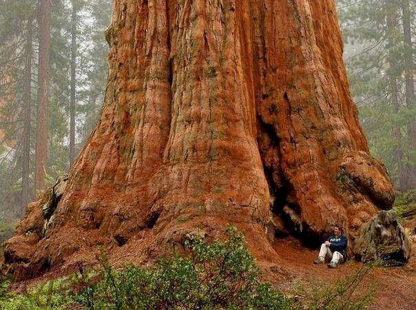 General Sherman tree-the largest in the world.