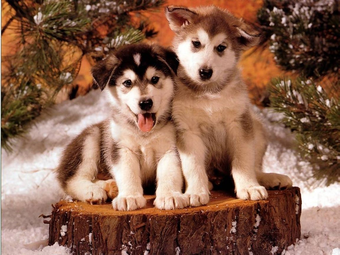 Christmas Husky Puppy Holiday Dogs Siberian Huskies Cute
