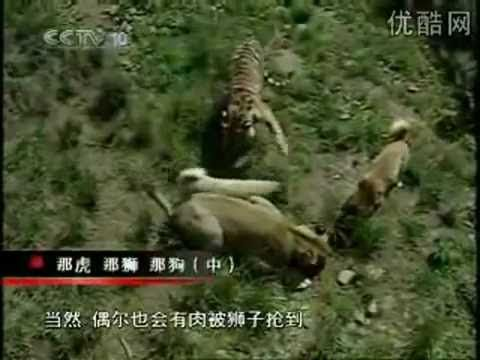 Turkish Kangal Dogs Vs Tigers Lions Pug Kangal Dog