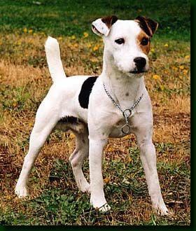Short hair jack russell terrier (JRT)