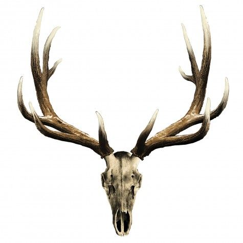 Elk Skull Decal - Small