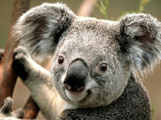 Kolas are!wo cute   Koala bear, Rare animals