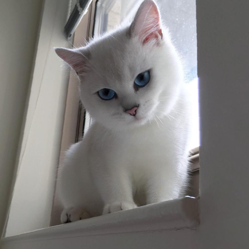 40 Absolutely Cutest Cat Pictures To Warm Your Heart Sooant In 2020 Cat Pics White Cat Breeds Cat With Blue Eyes