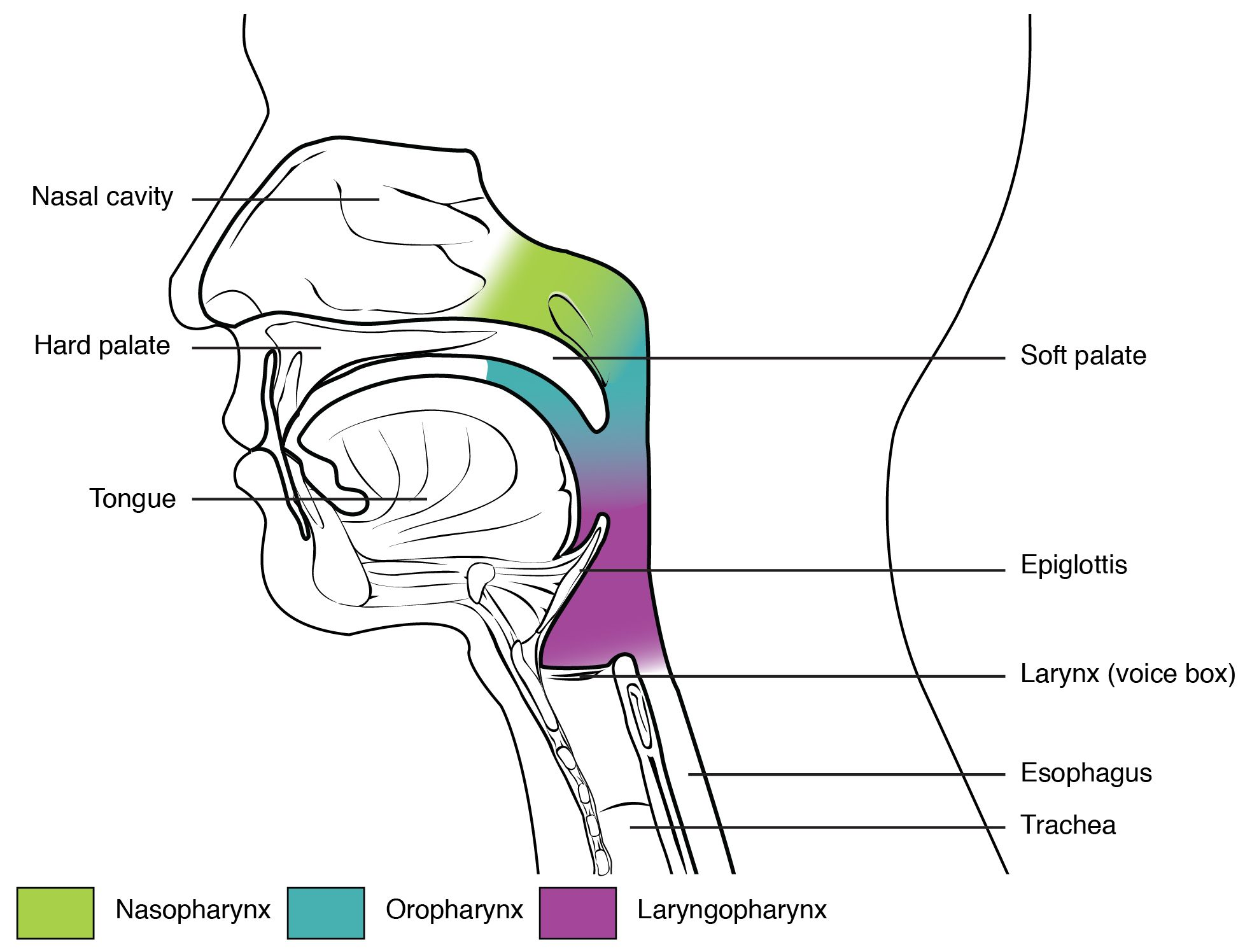 medium resolution of this figure shows the side view of the face the different parts of the pharynx are color coded and labeled