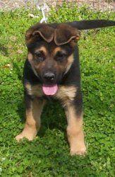 Mackandal Is An Adoptable German Shepherd Dog Dog In Cincinnati