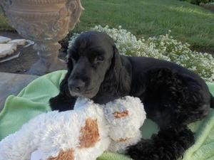 Chuckie Is An Adoptable Cocker Spaniel Dog In Bakersfield Ca You