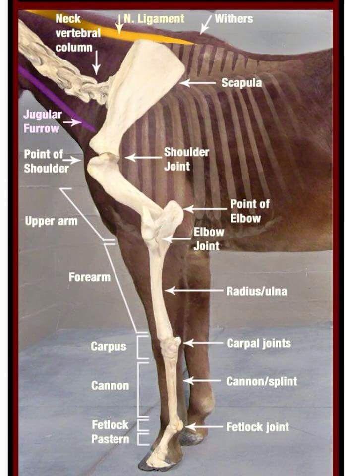 Shoulder anatomy | Educational | Pinterest | Caballos, Anatomía y ...
