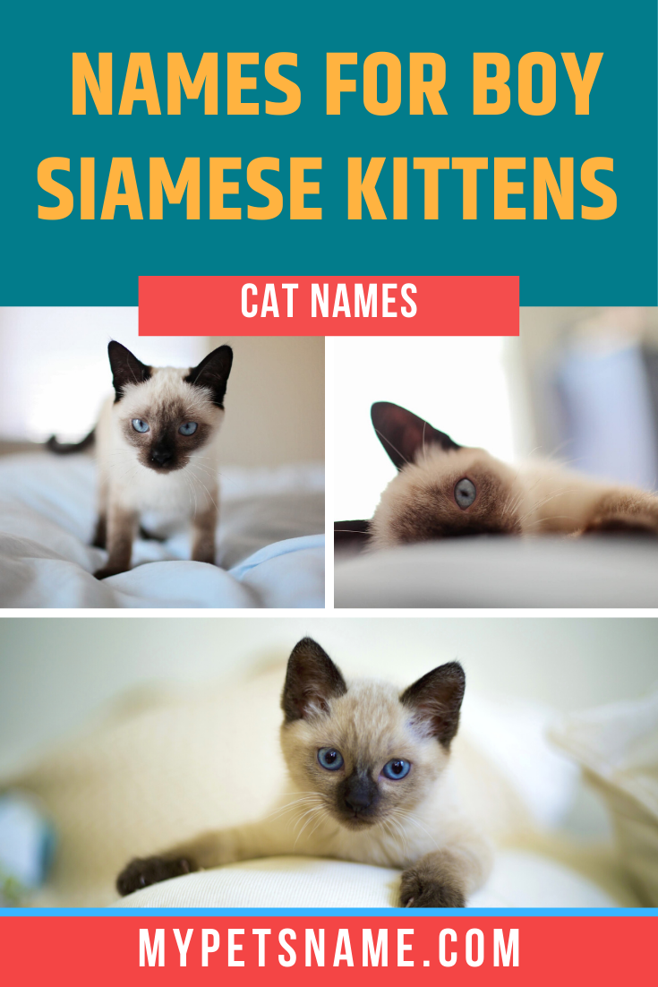 If Your New Siamese Kitten Is A Boy It Could Be Useful To Look At Names That Represent A Masculine And Tough Personality In 2020 Cat Names Kitten Names Siamese Cats