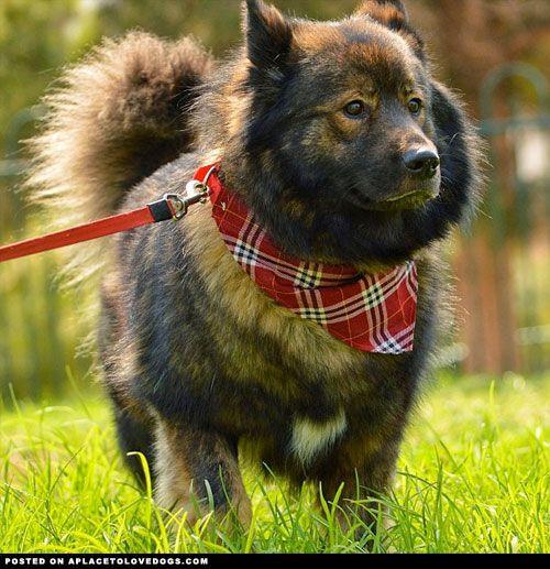 Keeshond German Shepherd Mix | Love dogs | Pinterest ...