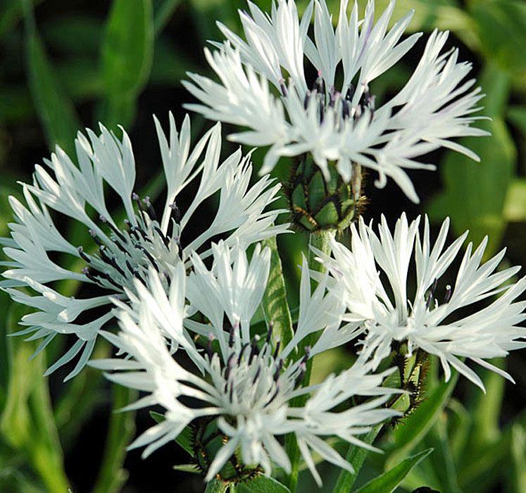 CENTAUREA montana \'Alba\'   To make our garden grow!   Pinterest ...