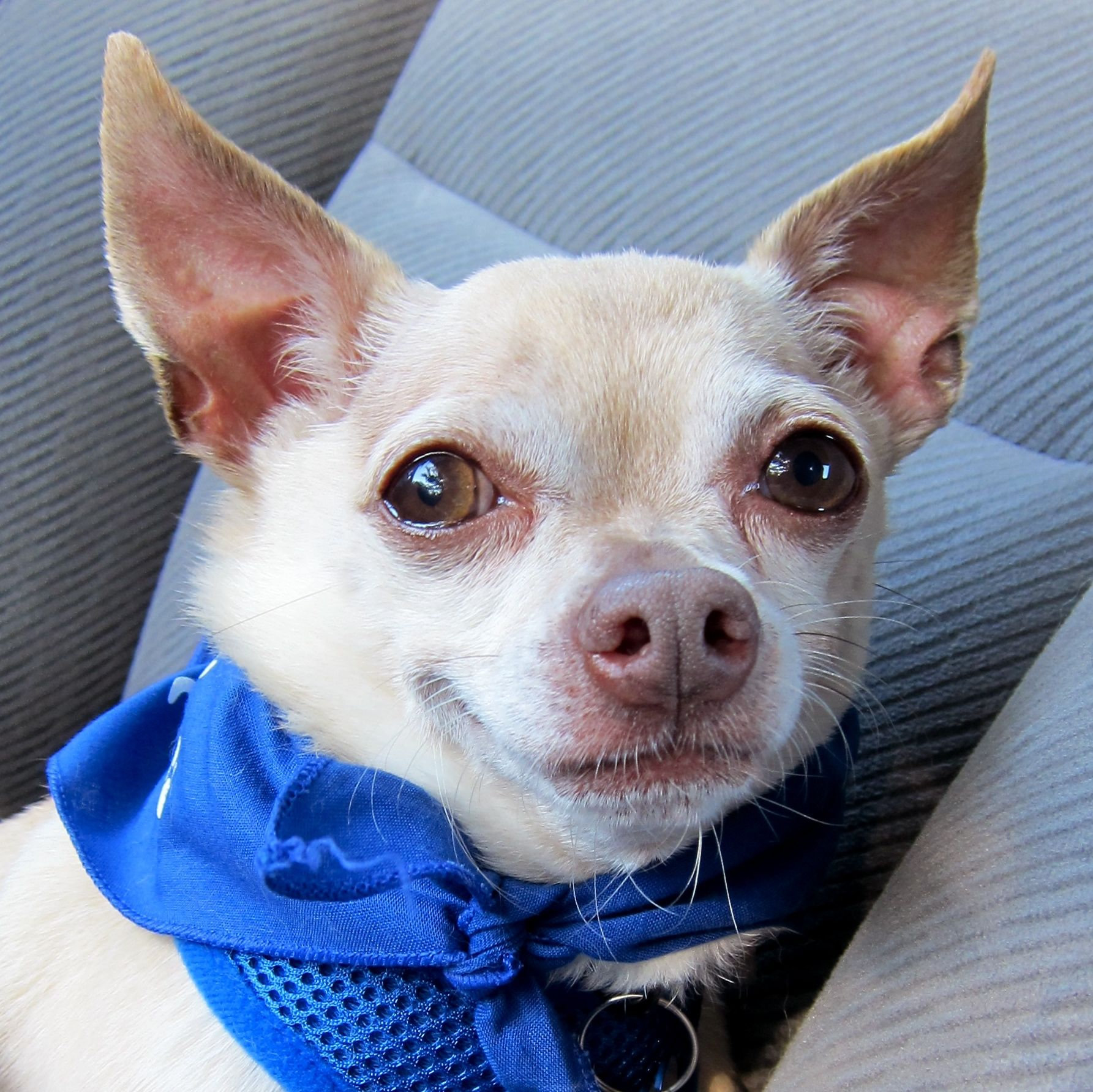 Ethan Grateful Dogs Rescue San Francisco Chihuahua Love Dogs