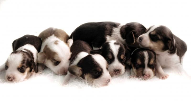 Pocket Beagle Pocket Beagle For Sale Beagle Puppy Pocket