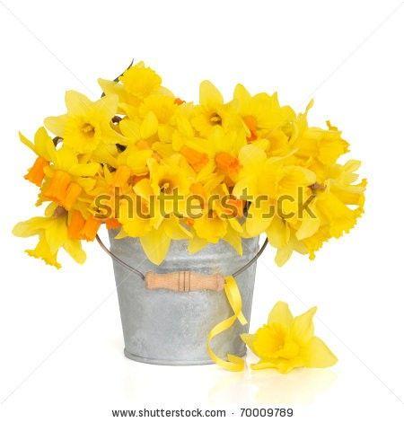 Daffodil in tin