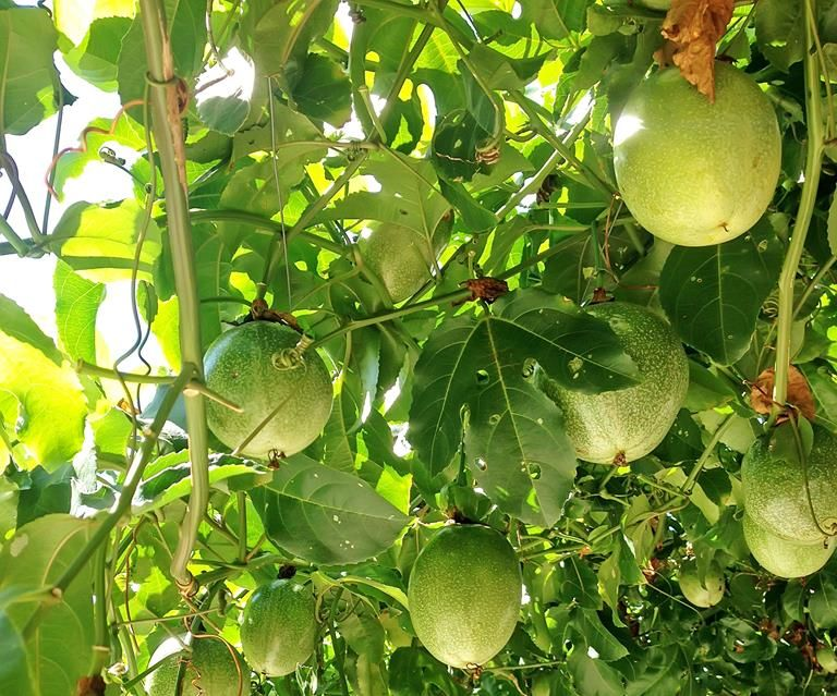 How To Grow Passionfruit Passion Fruit Fruit Garden Fruit Trees